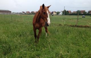 Benji-association-les-amis-du-cheval-strasbourg