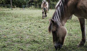 chevaux-association-les-amis-du-cheval-strasbourg
