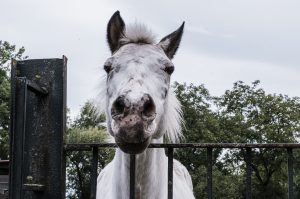 parrainage-chevaux-association-les-amis-du-cheval-strasbourg